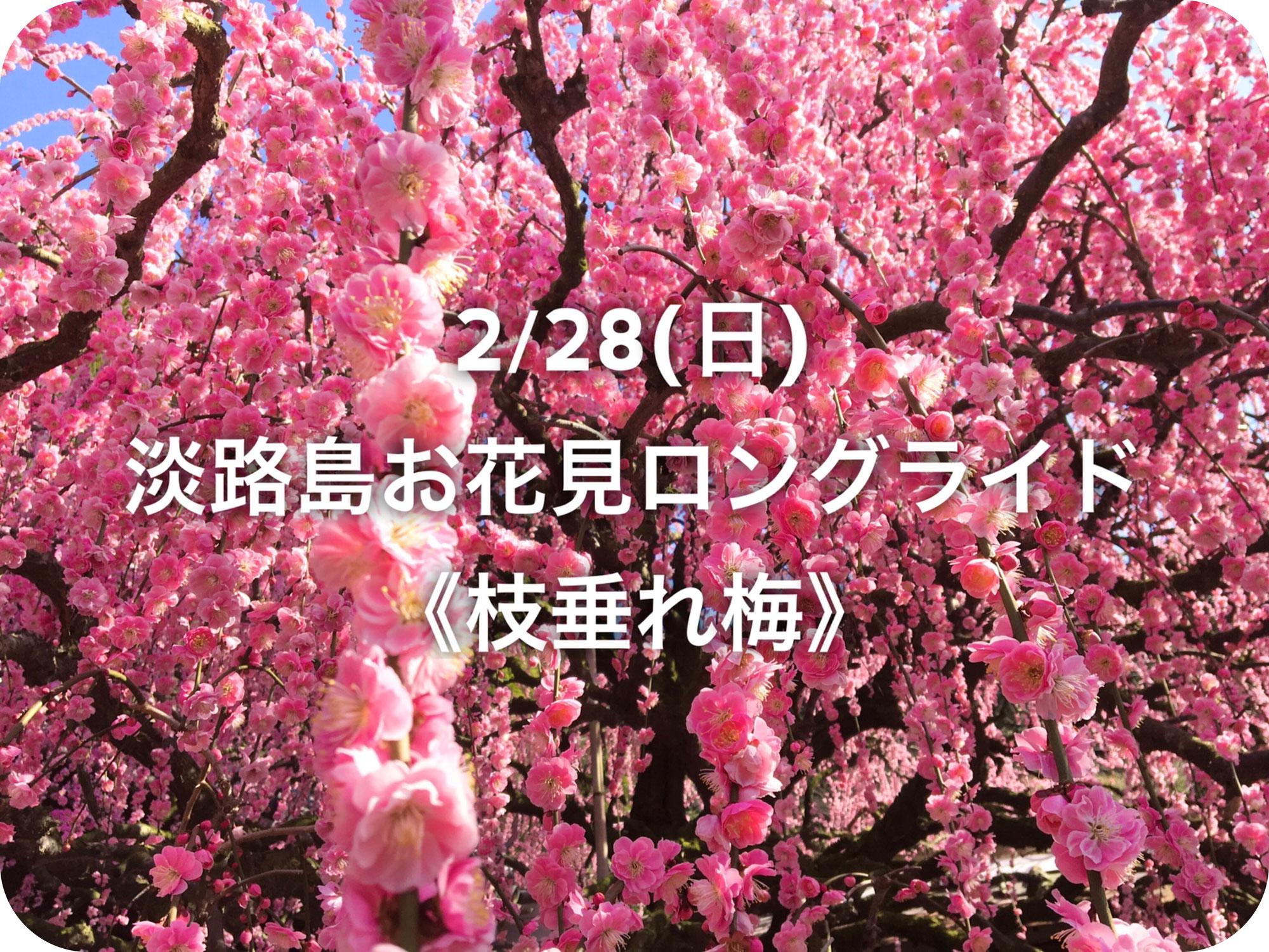 2/28(日)淡路島お花見ロングライド《枝垂れ梅》