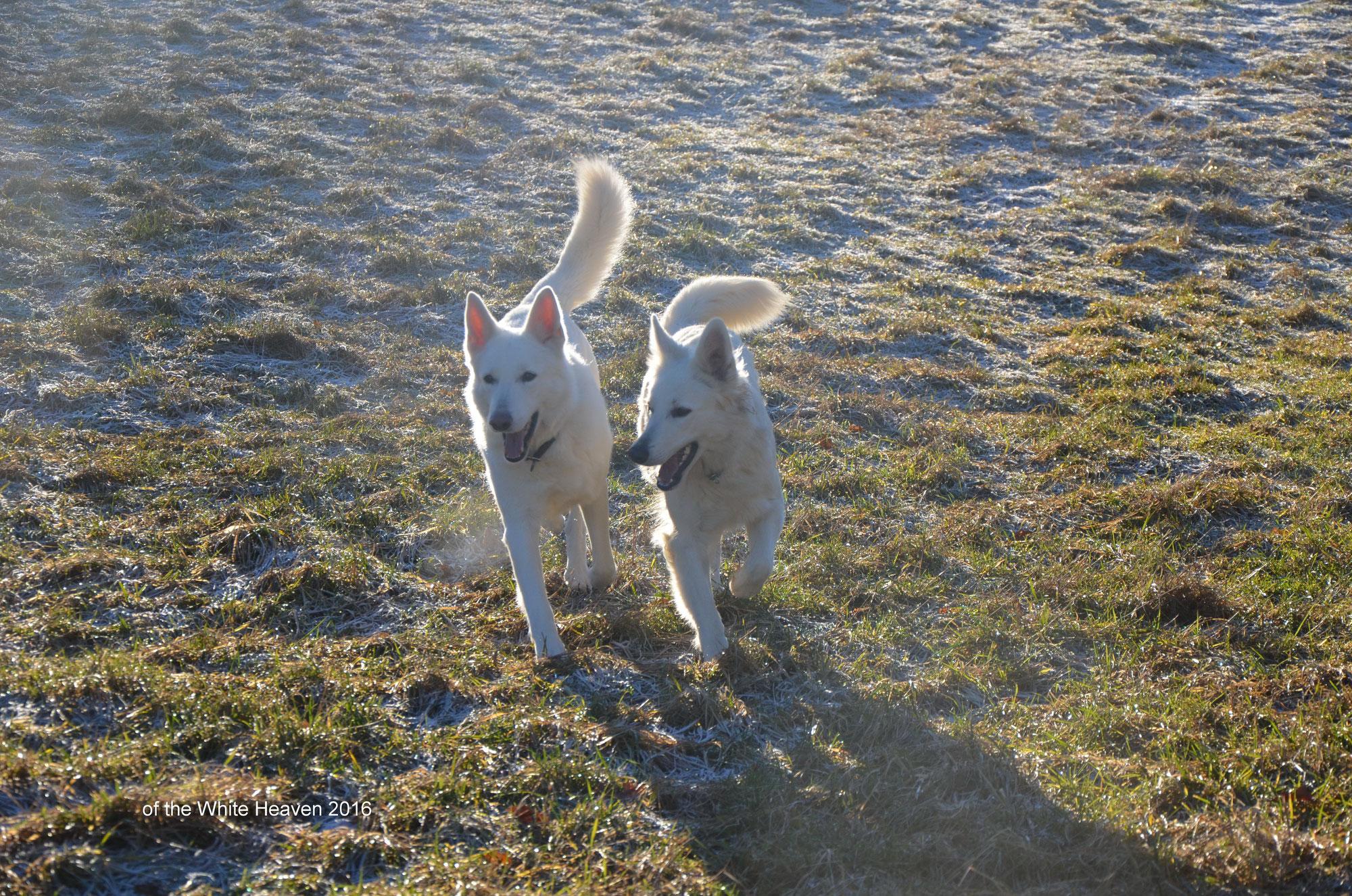 Weisse Schaferhunde Zucht White Heaven Weise Schaferhunde Weisse