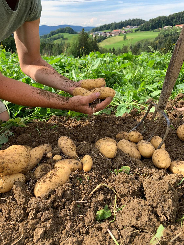Selbsternte-Kartoffeln aus biologischen Anbau