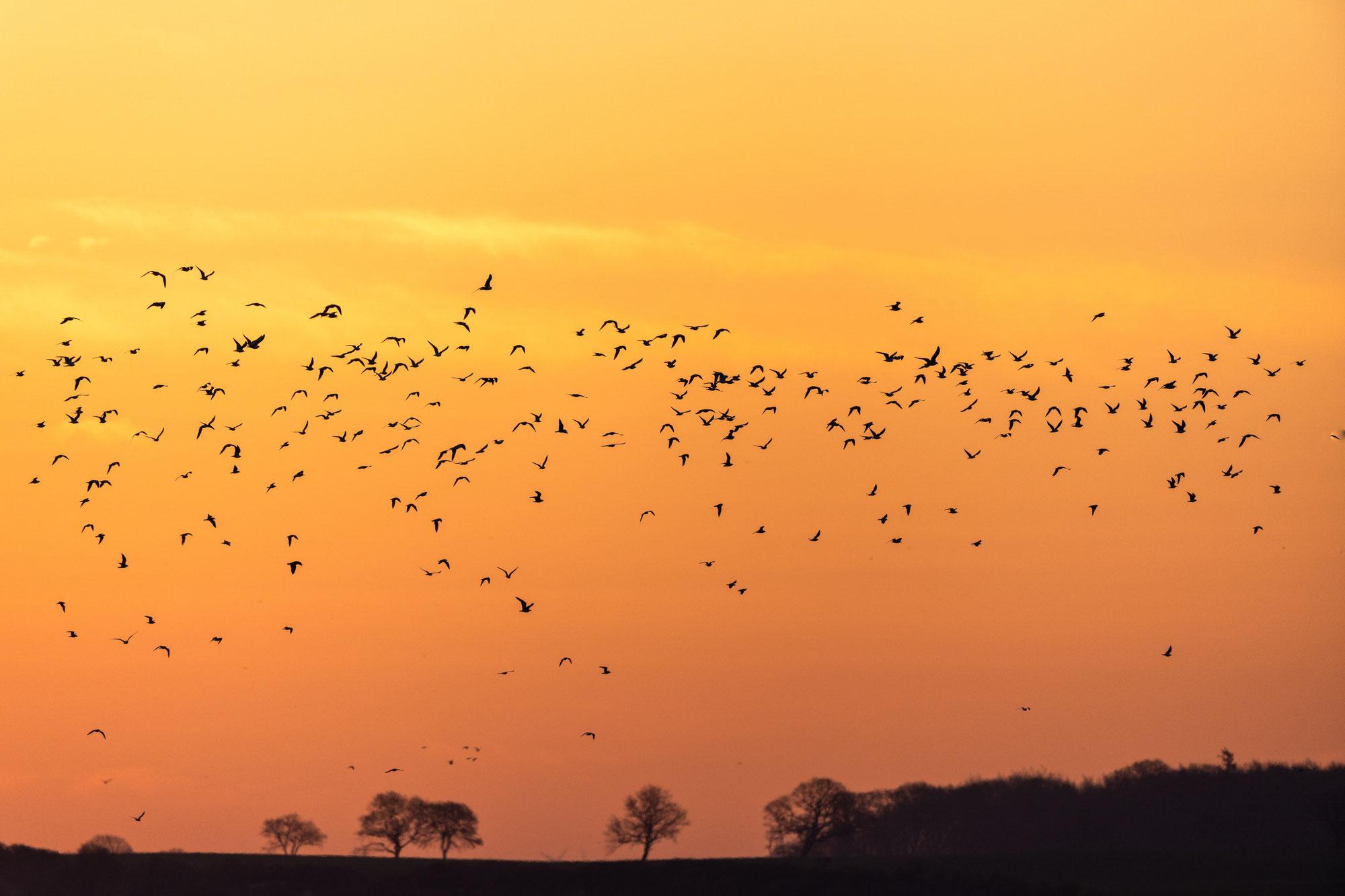 Vogelschwärme
