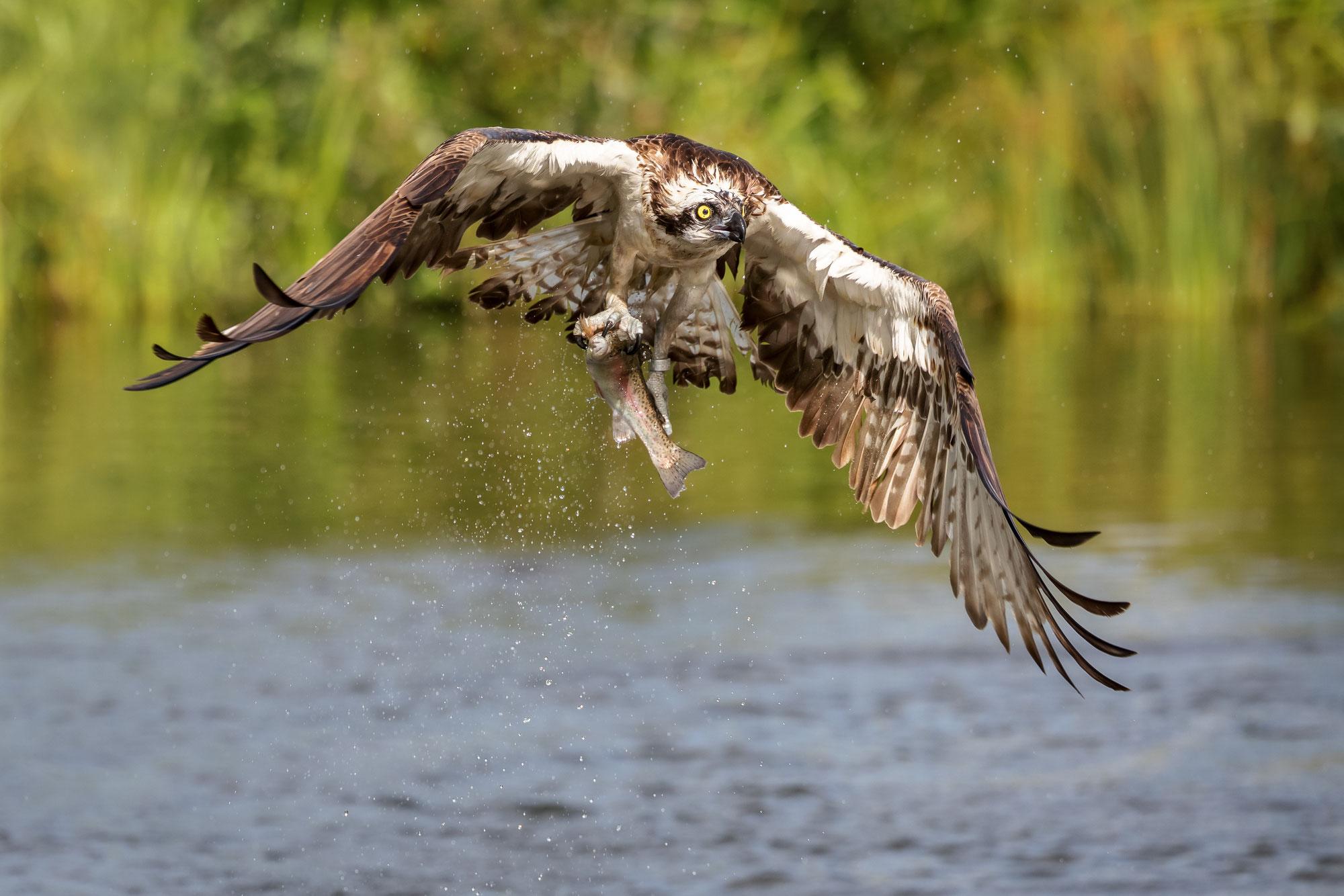 Fischadler in Finnland - Ospreys in Finland