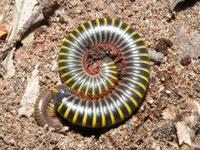 Anadenobolus monilicornis