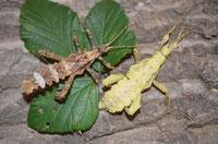 Geißelspinnen NZ (E. bacilifer)