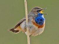 Blaukehlchen singt im Röhricht (T. Dove)