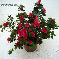 Azalée Japonnaisedesprat-pepinieres