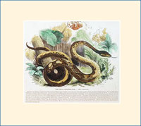 Boa constrictor, SPCK