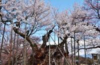 2019年 桜