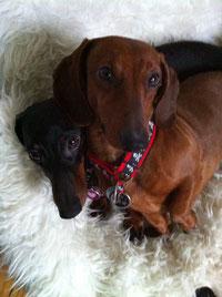 Iam Buddy Holly und Irish June haben neue Halsbänder  von Dackelband