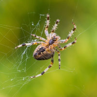 Orb Weaver Spider, Orb Weaver Spider Facts