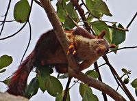 ecureuil geant d'inde