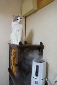 加湿器にあたる猫ちゃん