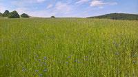 Getreidefeld mit Blumeneinsaat (Foto: Roland Steinwarz)