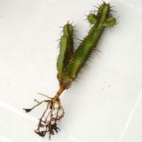 Euphorbia enopla - Wurzel