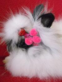 Maya fille de Gaufrette & Chamallow (lapin teddy angora oreilles droites)