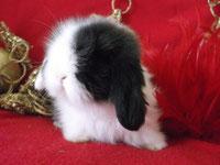 """Une petite """"Heaven"""" de Shade & Malabar : lapin teddy angora bélier"""