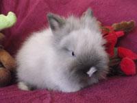 Cookie de Gaufrette & Chamallow : lapin teddy angora oreilles droites