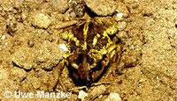 Knoblauchkröte: beim Eingraben.