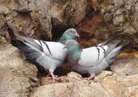 De rotsduif, die voorkomt rond de Middellandse Zee, is de voorvader van alle tamme duivensoorten