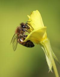 oder die Nachtkerze (Oenothera sp.), um für die Bienlarven, die einmal als ausgewachsene Bienen den Winter überstehen müssen, Pollen und Honignektar zu sammeln.