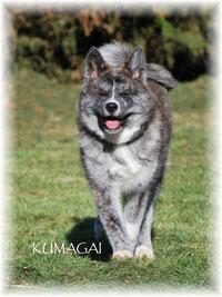 race Akita Inu - femelle bringée