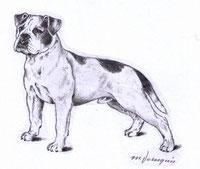 Continental Bulldog Welpe Zeichnung