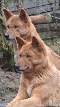 Dingos aus Wolfswinkel