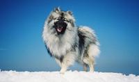 ポメラニアンの祖先犬「スピッツ」