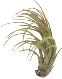 Tillandsia fasciculata x Tillandsia ionantha