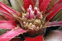 Bromelia superficialis