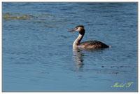 Oiseaux plongeurs