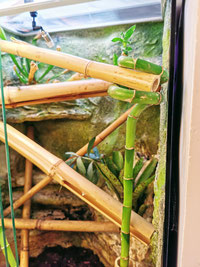 Phelsuma klemmeri terrarium