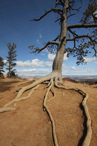 Foto: Baum am Bryce Canyon