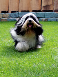 Pirjo Mäki_Tibet Terrier_Peter Künzel_Katja Rauhut_Ti La Shu_KTR_Oelde