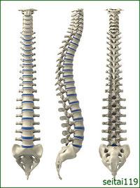 脊椎の曲線