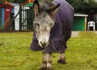 Foto: Eyeore, der wohl älteste Esel der Welt (54 Jahre alt) starb im Januar 2012 - uniquedaily.com