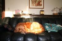 革張りソファの上で寝る犬の写真