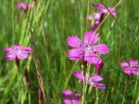 Die Heidenelke - Blume des Jahres 2012. Foto:Doris Jansen.