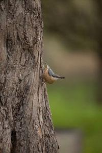 Auch der Kleiber konnte im Goldbacher Wald gehört werden. Er kann als einziger heimischer Vogel senkrecht den Stamm hinunterlaufen