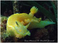 nudibranches,flabellines, doris, limaces de mer