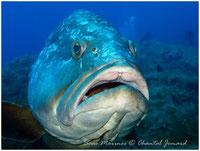 merous brun de méditerranée, merou corail, merou des antilles