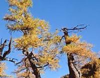 nadelbaum der seine nadeln abwirft