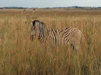 Südafrika: Zebras statt Pinguine