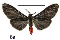 Lemyra miniatrata (Cerny 2014)
