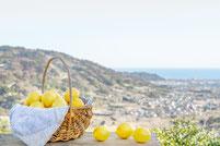 レモンと小田原の海