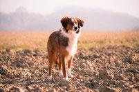 Origine du chien et domestication