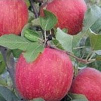 malus domestica fuji, appelboom fuji, bewaarappel