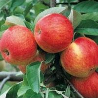 malus domestica pinova, appelboom pinova, bewaarappel