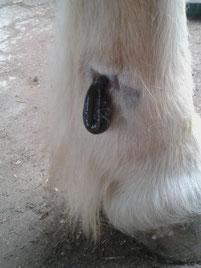 Blutegeltherapie - Mobile Tierheilpraxis Schinko