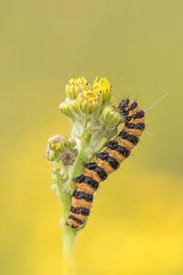 Schmetterlings-Raupe