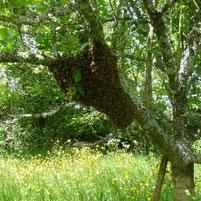 Un essaim sur une branche par miel et goûter d'antan 79